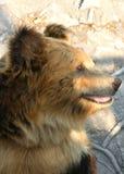 Facial features of Tibetan blue bear or Horse bear Royalty Free Stock Photography