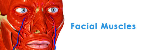 Facial Muscles. The facial muscles are a group of striated skeletal muscles innervated by the facial nerve (cranial nerve VII) that, among other things Royalty Free Stock Photo