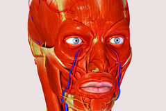 Facial muscles Royalty Free Stock Images