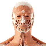 The facial muscles. Medical accurate illustration of the facial muscles Stock Photos