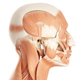 The facial muscles. Medically accurate illustration of the facial muscles vector illustration