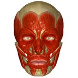 Facial muscles on skull Stock Images