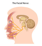 The facial nerve. The cranial nerve that controls facial muscles royalty free illustration