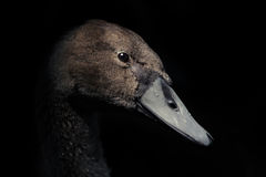 Facial Portrait of Cygnet on Black Background Royalty Free Stock Photos