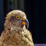 Kea. Facial Portrait Of Kea Parrot, Arthur`s Pass National Park, South Island, New Zealand Royalty Free Stock Images