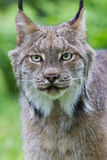 Facial portrait of lynx Stock Images