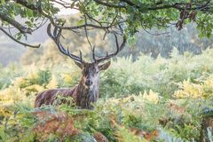 Facial Portrait Of The Large Red Deer Stag In Rain Stock Photos
