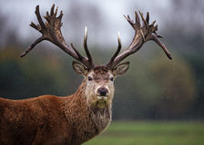 Facial Portrait of Red Deer Stag in Rain Stock Photography