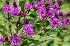 Faciculata Vernonia общего †Ironweed « Стоковые Изображения RF