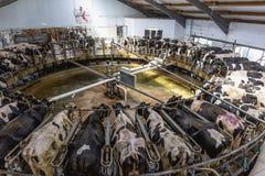 Facilidade de ordenha da vaca na exploração agrícola de leiteria fotos de stock royalty free