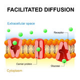 Facilitated diffusion or passive-mediated transport Stock Photos