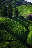 A facinating view at tea plantation in Cameron Highland. Malaysia Stock Photos