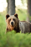 Facing brown bear in forest Royalty Free Stock Photos