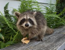 A baby raccoon eating on a gray bench.. Facing the camera, a juvenile raccoon holding food with a big smile on her face. Dark green ferns are the background royalty free stock image
