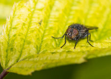 Facing The Fly. A close-up of a small fly sitting on a green leaf stock image