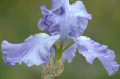 Facing Iris. Iris Flower royalty free stock photography
