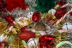 Side view of a wild brown house mouse, Mus musculus, perched on a red Christmas bulb in the middle of a pile of decorations. Facing left, this is the side view Royalty Free Stock Image