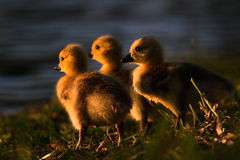 Facing the night. Three baby Canada geese face the setting sun royalty free stock image