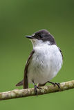Male pied flycatcher Stock Image