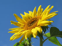 Facing the Sun. Sunflower lifting its face to the sun Stock Photography