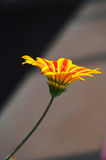 Facing the sun. A lone flower with striped petals facing the sun Royalty Free Stock Photos