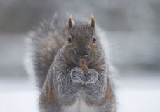 Eating squirrel. In winter, an squirrel is standing on the snow ground, while eating a piece of chocolate facing to the camera Royalty Free Stock Images