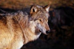 facingwindwolf arkivbild