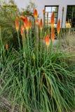 Fackel-Lilie von botanischem Garten Pasadena Kalifornien Huntingtons lizenzfreies stockfoto