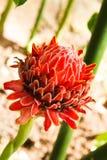 Fackla Ginger Flower Royaltyfri Fotografi