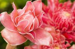 Fackla Ginger Flower Arkivfoton