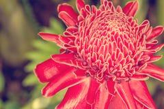 Fackla Ginger Flower Arkivbild