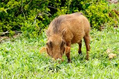 Facocero che mangia nell'erba verde di Addo Elephant Park Immagini Stock