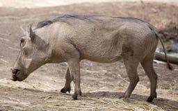 Facocero comune (africanus del Phacochoerus) Immagine Stock Libera da Diritti