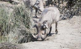 Facocero & x28 comuni selvaggi; Africanu& x29 del Phacochoerus; ad un foro di acqua Fotografie Stock
