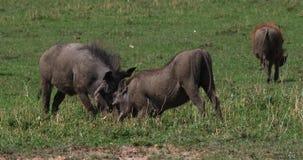 Facoquero, aethiopicus del phacochoerus, adultos que luchan, parque de Nairobi en Kenia, almacen de video
