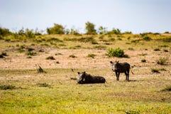Facoqueros inmóviles en la sabana de Maasai Mara Park en el norte Foto de archivo