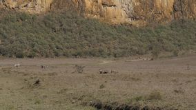 Facoqueros y cebras Graze In The Meadow In Dusty And Arid African Valley almacen de video