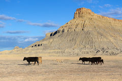 Factory Butte. Cow family at Factory Butte, Caineville, UT stock images