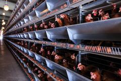 Factory Chicken egg production. Red chickens are seated in special cages. Linear perspective. Agribusiness company. stock image