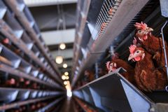 Factory Chicken egg production. Red chickens are seated in special cages. Linear perspective. Agribusiness company. royalty free stock image