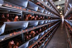 Factory Chicken egg production. Red chickens are seated in special cages. Linear perspective. Agribusiness company. stock photo