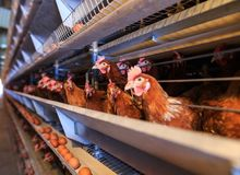 Factory Chicken egg production. Red chickens are seated in special cages. Linear perspective. Agribusiness company. stock photos