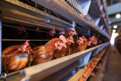 Factory Chicken egg production. Red chickens are seated in special cages. Linear perspective. Agribusiness company. stock photography