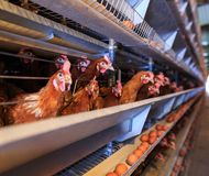 Factory Chicken egg production. Red chickens are seated in special cages. Linear perspective. Agribusiness company. royalty free stock photos