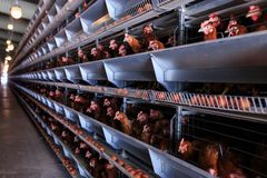 Factory chicken egg production. Red chickens are seated in special cages. Linear perspective. Agribusiness company. Concept theme. Agribusiness, production of stock photo
