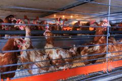 Factory chicken egg production. Red chickens are seated in special cages. Linear perspective. Agribusiness company. Concept theme. Agribusiness, production of stock photos