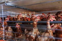 Factory Chicken egg production. Red chickens are seated in special cages. Linear perspective. Agribusiness company. royalty free stock photography