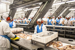 Factory chicken Royalty Free Stock Images