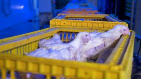 A factory conveyor moves chickens. Poultry automated equipment. Alive mature chickens sit inside plastic crates on a moving factory line stock video footage