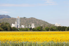 Factory means a field of sunflower. Royalty Free Stock Photos